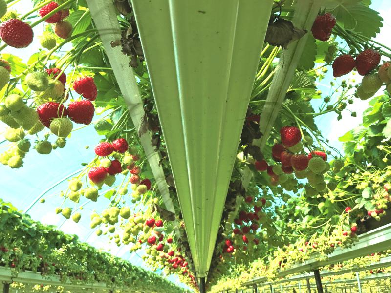 Inside an undercover strawberry farm