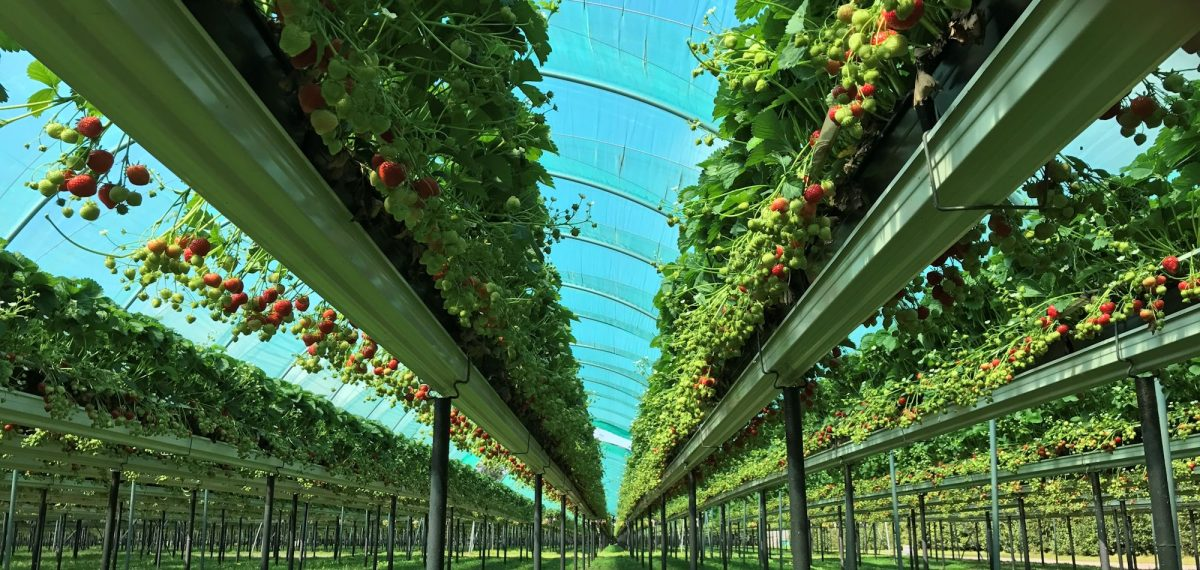 Inside of an undercover strawberry farm with rows of plants
