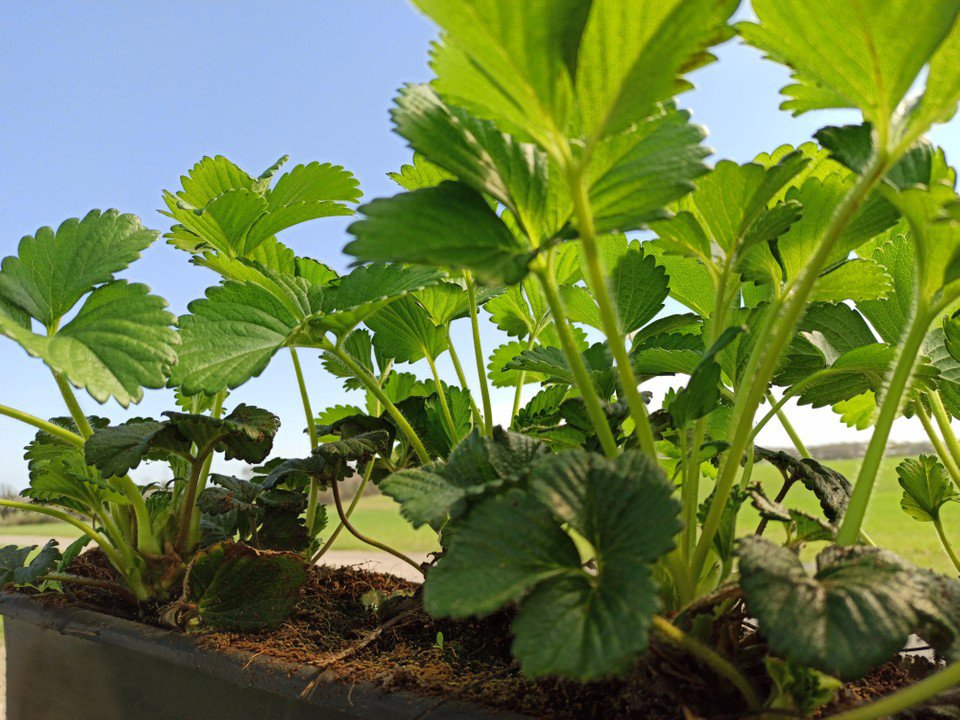 Close up or young strawberry plants growing in the ground