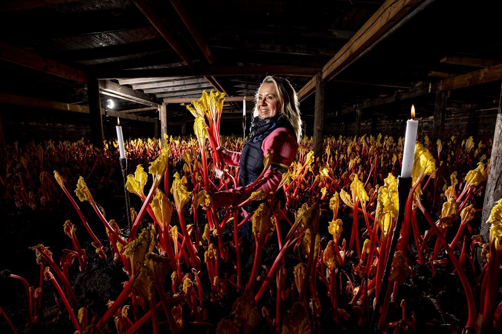 Annabel Makin-Jones picking fresh Yorkshire Forced Rhubarb