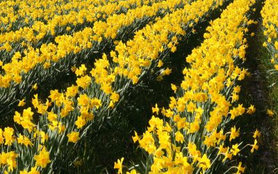 Springtime is Near – Daffodils Arrive at Annabel's Deliciously British